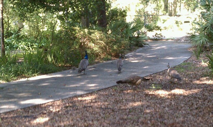 These peacocks landed in the yard recently. Very strange. There were four of them -- one male and three hens. They wandered around for about 30 minutes and then left.