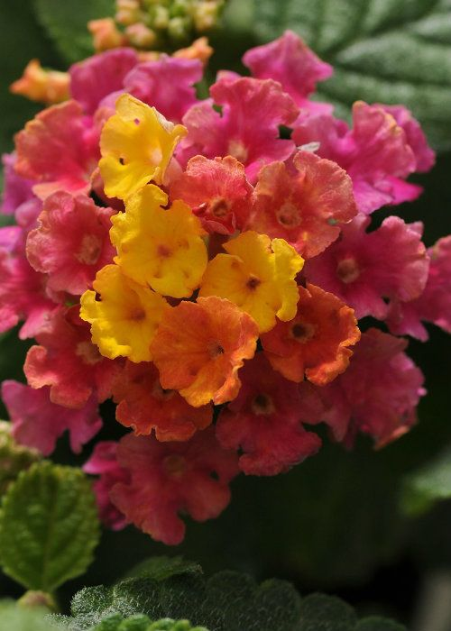 Hot Pink Little Lucky Lantana Shop Online With Plantsbymail Com Lantana Hot Pink Flowers Perennial Plants
