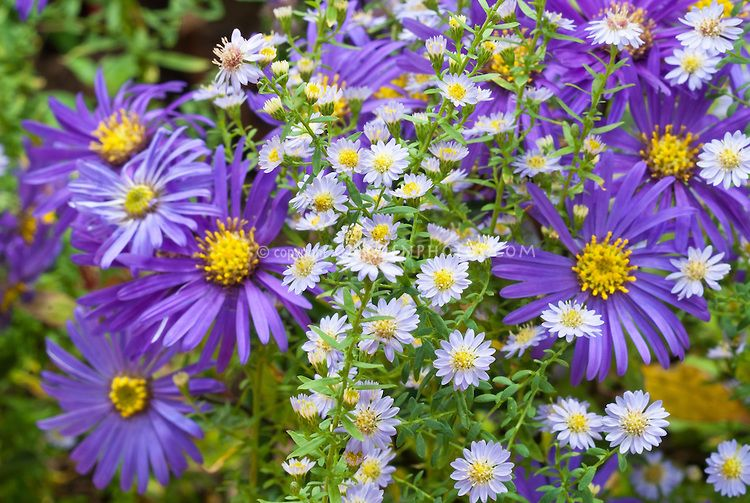 Aster Ericoides Blue Star With Aster Amellus Blue Autumn Two Different Perennial Aster Flowers Together In Fall Bloom Fall Plants Planting Flowers Plants