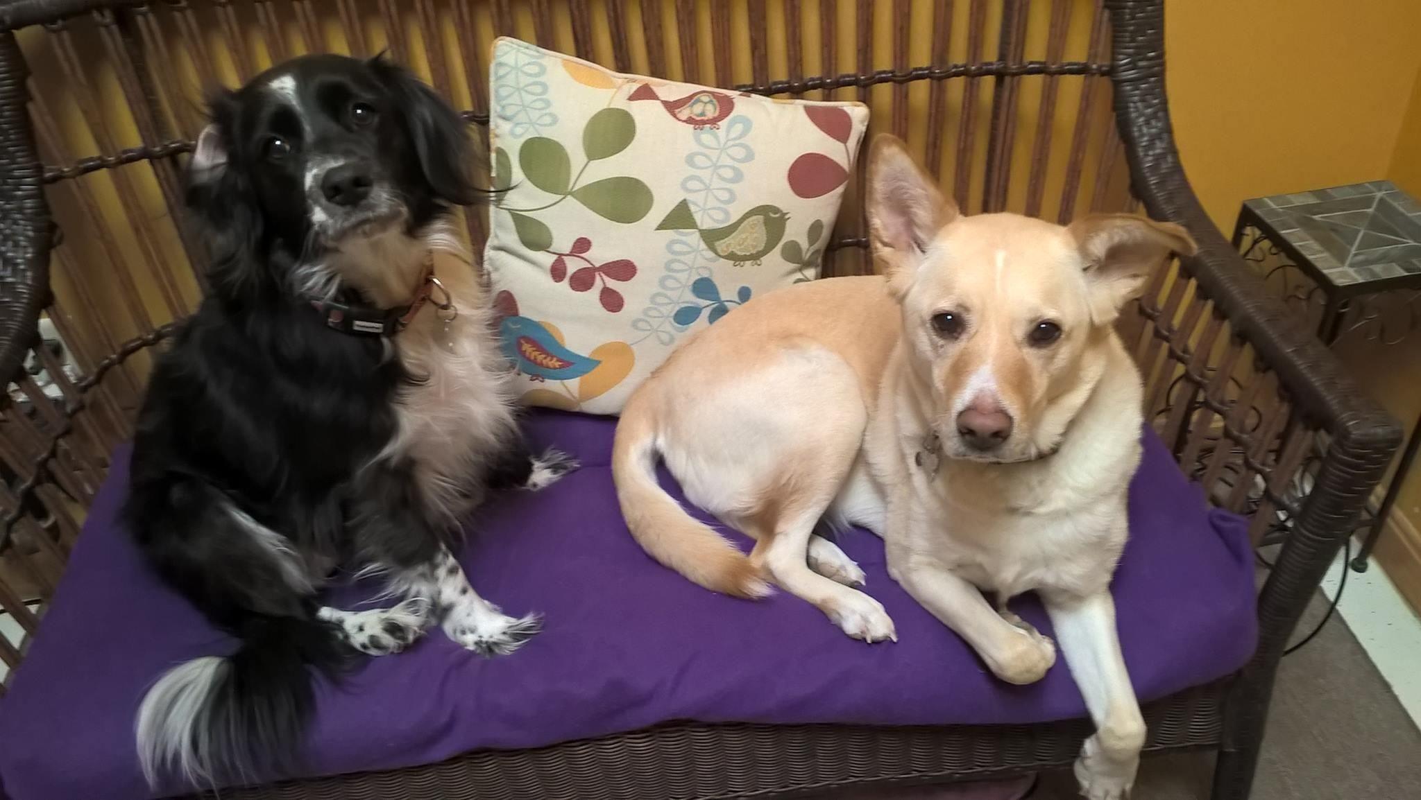 Adopt Magic and BerkeleyADOPTED on Puppies, Labrador