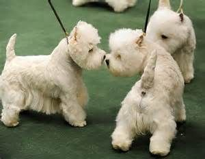 The Westminster Kennel Club Dog Show At Madison Square Garden New