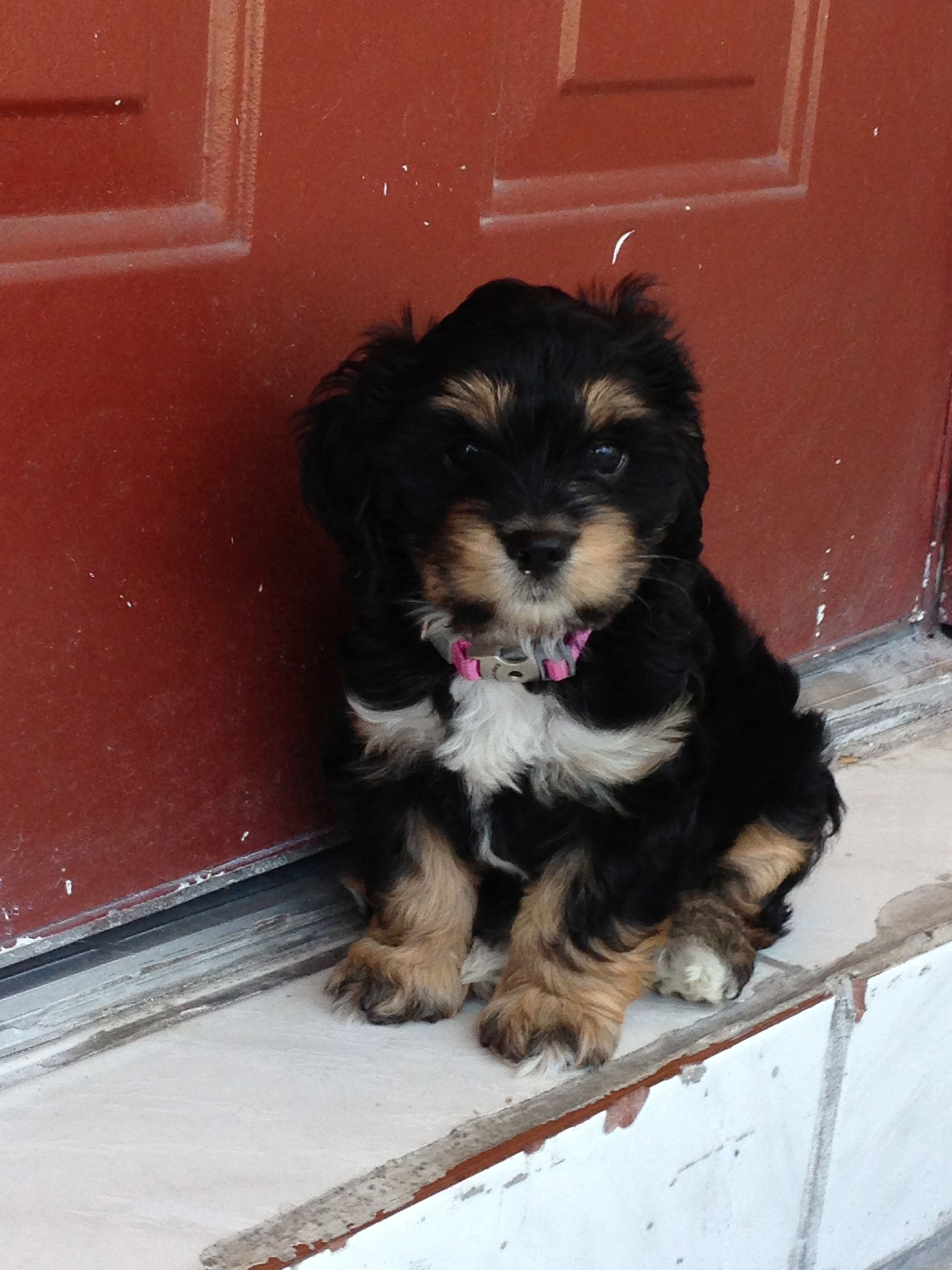 Pin By Alexandra Grada On Puppy Love Cavapoo Puppies Cute