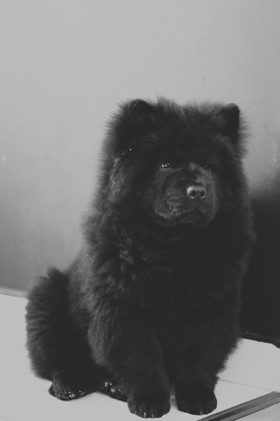 This Chow Chow Is So Handsome With His Puffy Fur With Images