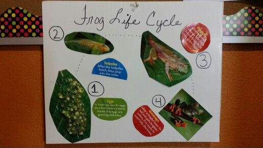 MFW kindergarten - Ff is for Frog. Frog life cycle. Pictures from Ranger Rick Jr. Magazine 2014