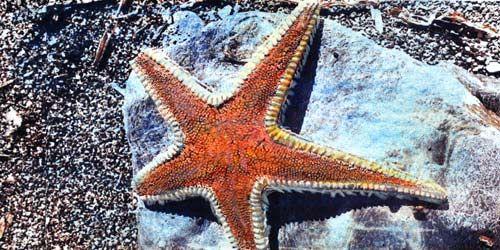 Familia Astropectinidae   Astropecten aranciacus   Estrella de arena naranja   Orange sea star