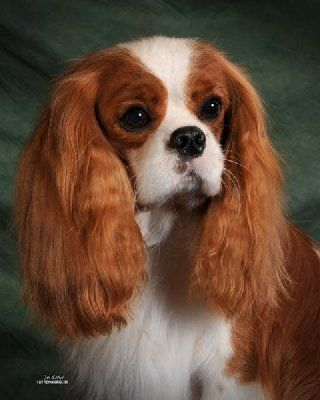 Cavalier King Charles Spaniel Size Weight And Life Expectancy King Charles Dog King Charles Cavalier Spaniel Puppy Charles Spaniel