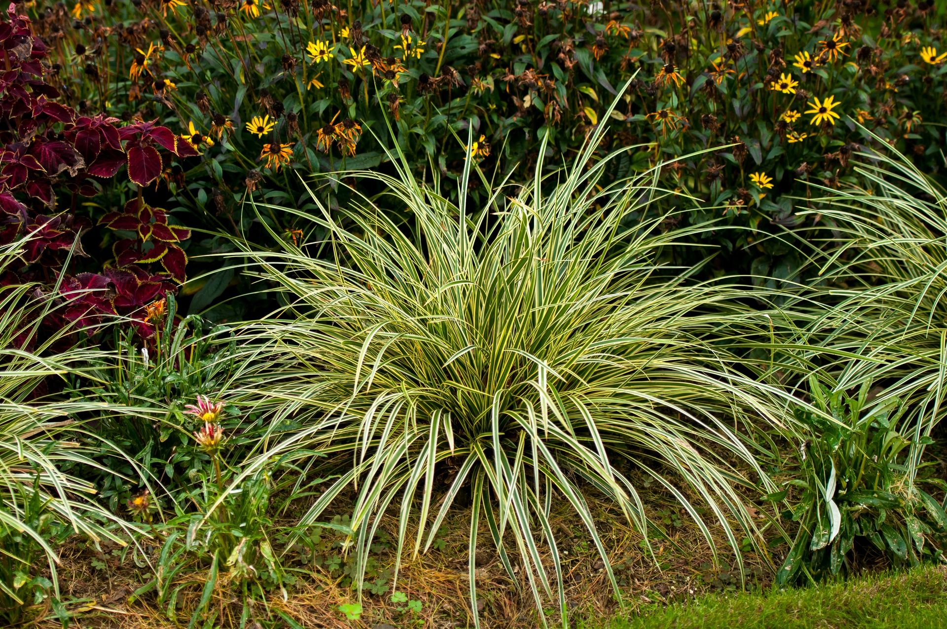 Picture of Live Japanese Sedge aka Carex morrowii 'Gold Band' Plant Fit 1 Gallon Pot
