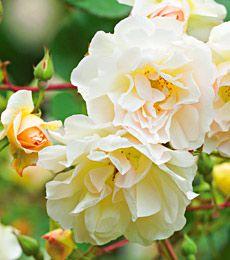 Rosa Penelope  Common Name: Hybrid Musk Rose, Shrub Rose