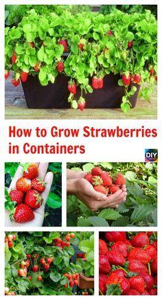 #strawberries #strawberries #containers #containers #gardening #grow #grow #diy #how #how #to #in #to #inHow to Grow Strawberries in Containers How to Grow Strawberries in ContainersHow to Grow Strawberries in Containers  #strawberries #strawberries #containers #containers #gardening #growingstrawberriesincontainers