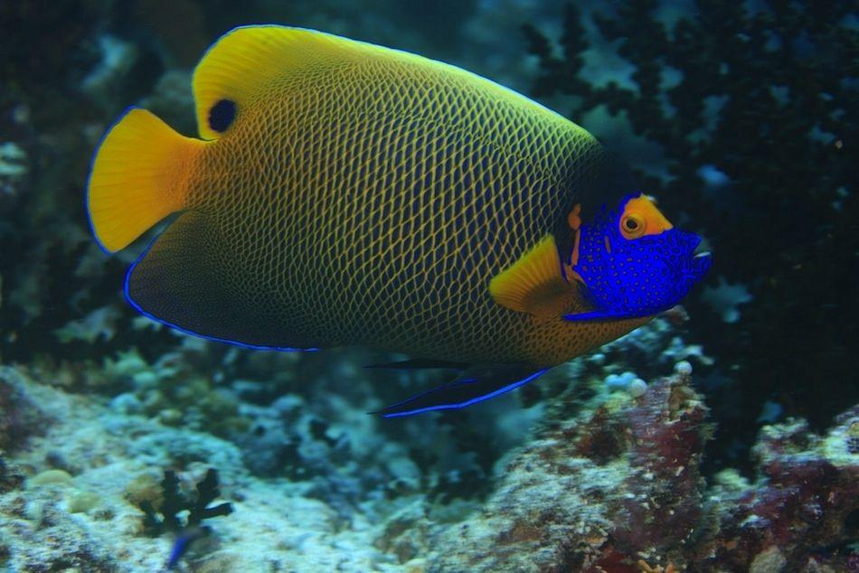 Blueface Angelfish Angel Fish Beautiful Fish Fish