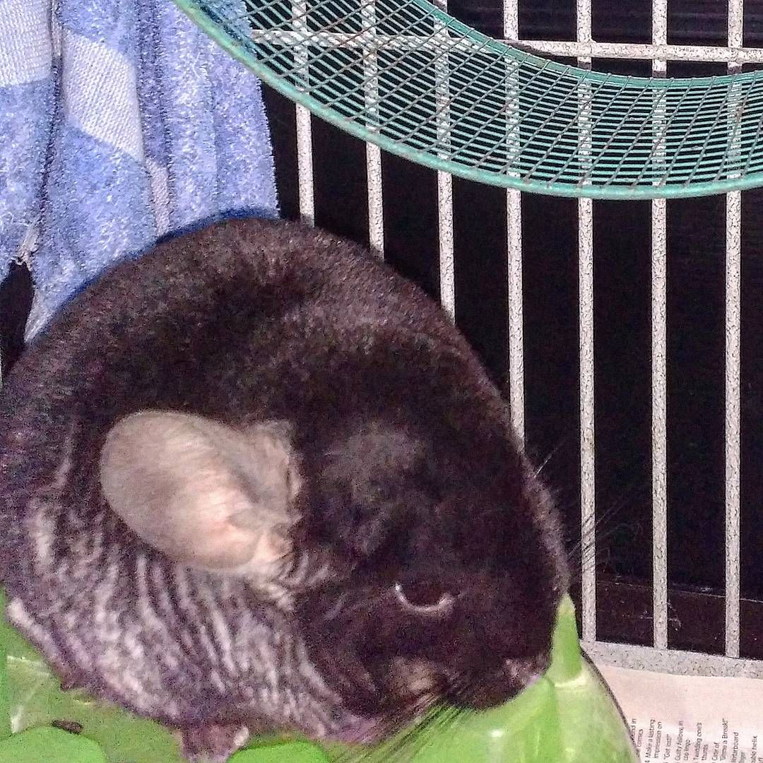 Chinchillas One Of The Softest Animals On The Planet Wet Pets
