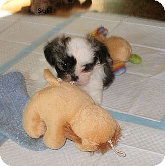 Hampton Va Shih Tzu Meet Suki And Saki A Puppy For Adoption