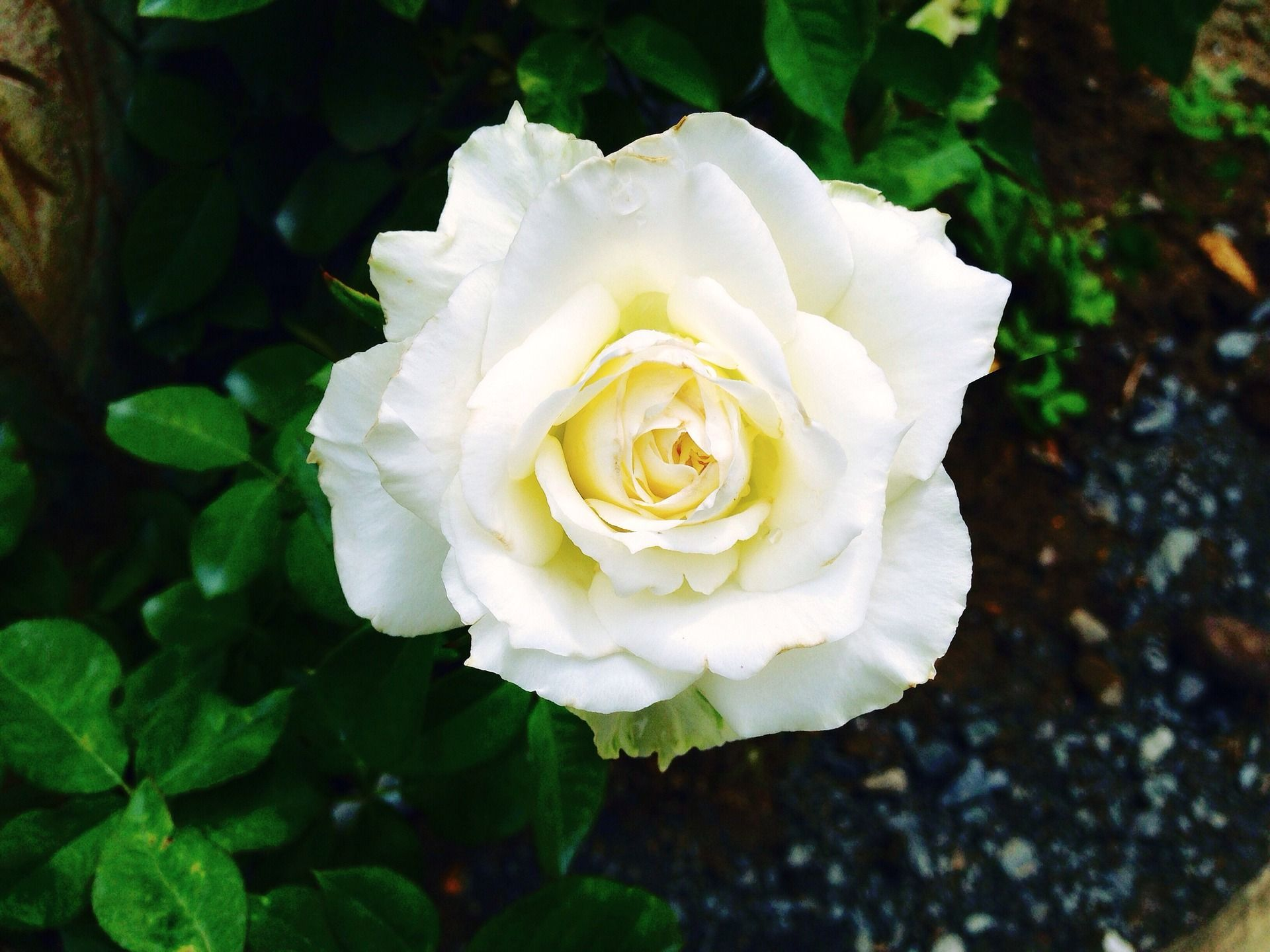 White Rose Meaning Innocence And Secrecy The White Rose Tells The