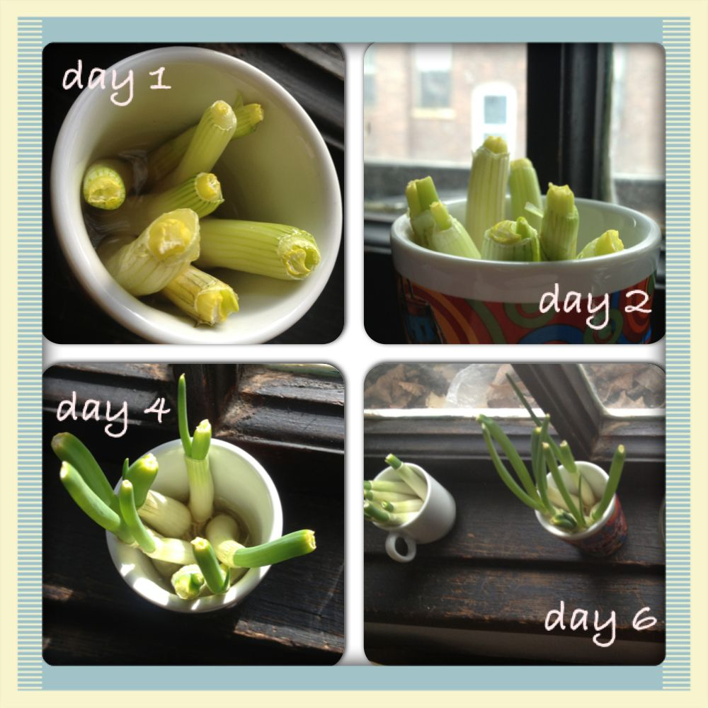 Grow Vegetables From Kitchen Scraps: How To Re-grow Vegetables From Scraps! More Shameless Self