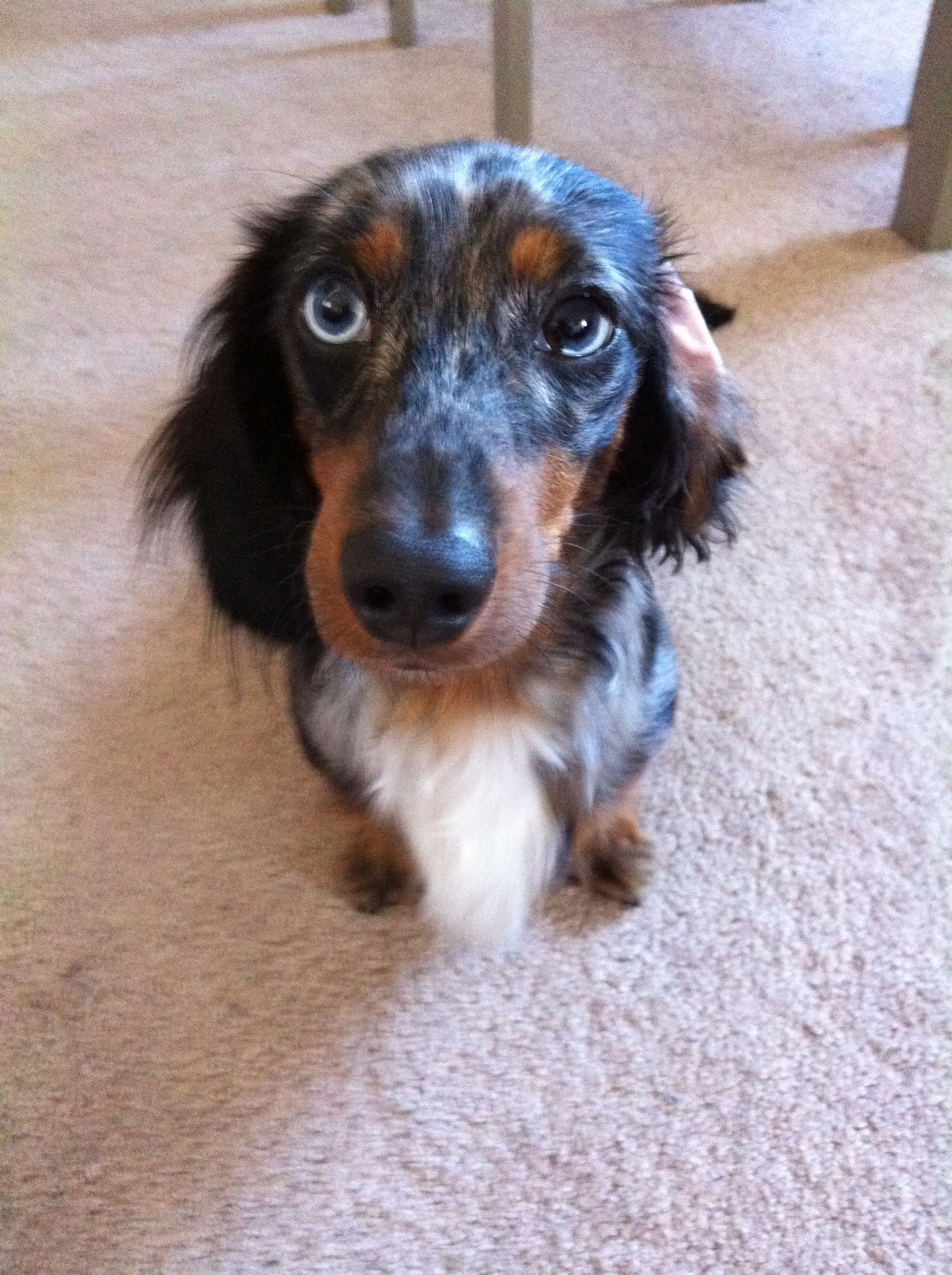 Little Leroy! Our dapple dachshund