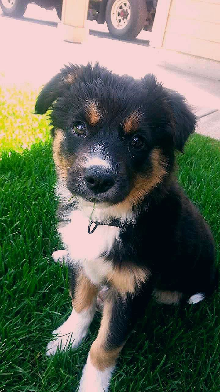 From reddit: So my brother just got a puppy! Border collie/German Shepard mix #germanshepards