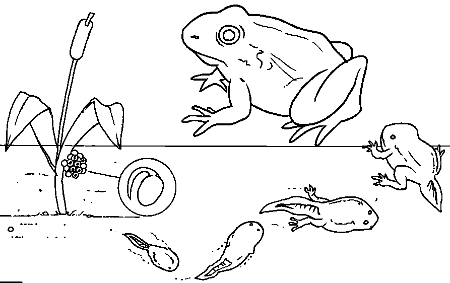 Pioaxzebt Png Png Image 893 562 Pixels Animal Coloring Pages Preschool Lessons Tadpole To Frog