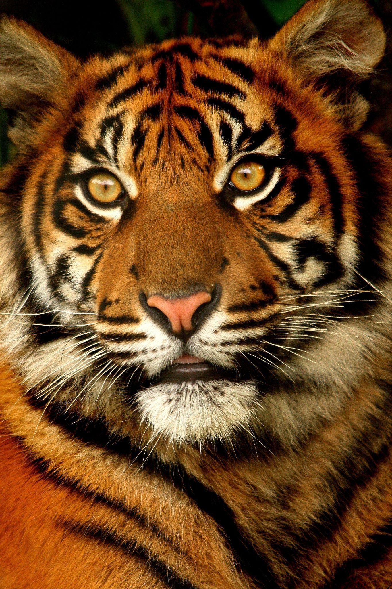 Sumatran Tiger Cub Taken at Chester Zoo, Uk. Cats