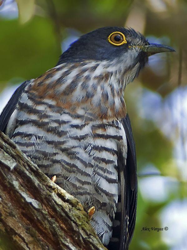 Large Hawk-Cuckoo - adult - portrait | by Don Gato - Tico