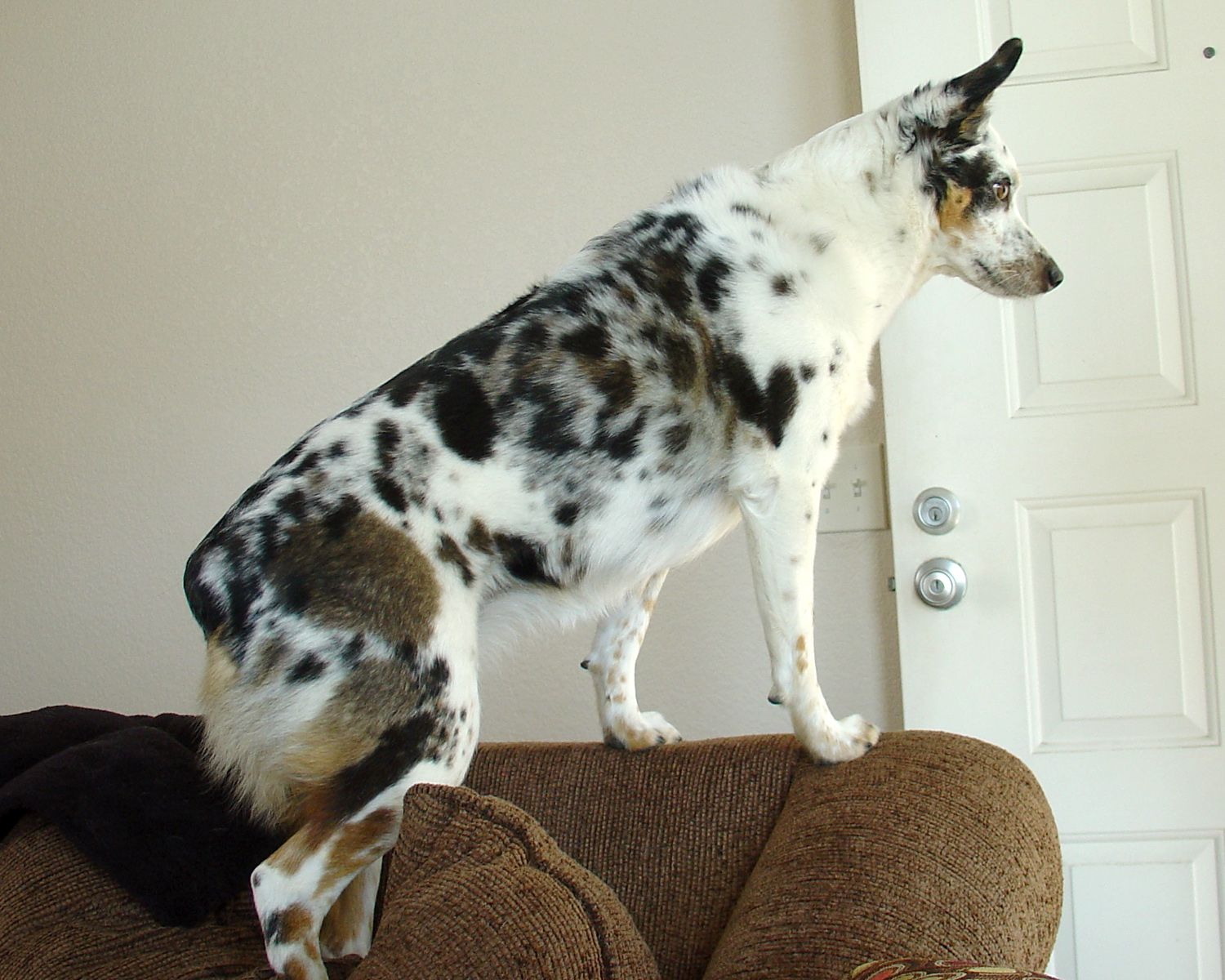 Texas Heeler Dog Breed Info Pictures, Personality
