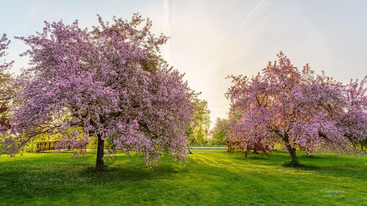 Dominion Arboretum Ottawa Pink Blossom Tree Blossom Trees Arboretum