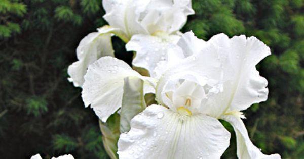 Iris Sibirica Super Ego Irises White Flowers And Perennials White Iris White Flowers Flowers