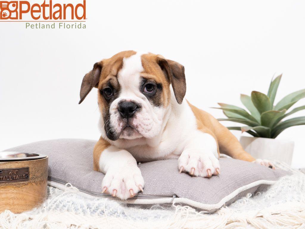 Petland Florida Has Victorian Bulldog Puppies For Sale Check Out