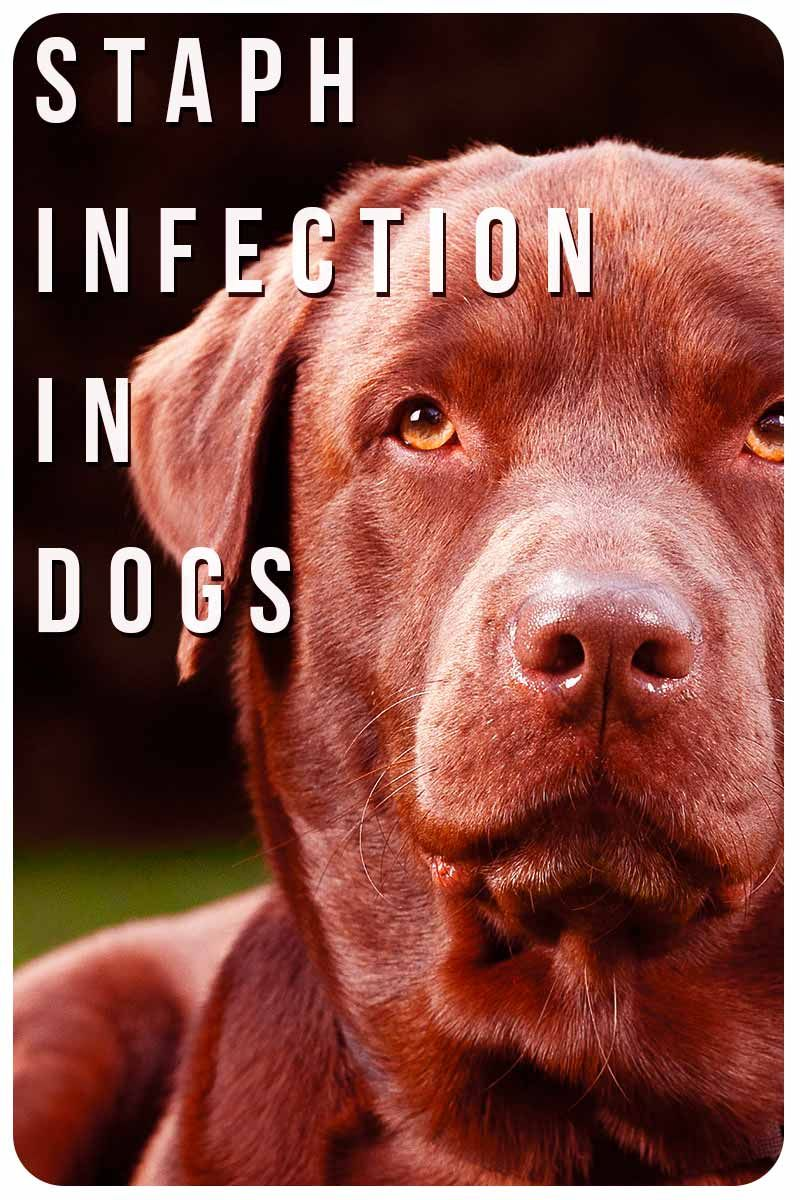 Staph Infection On A Dog Pictures