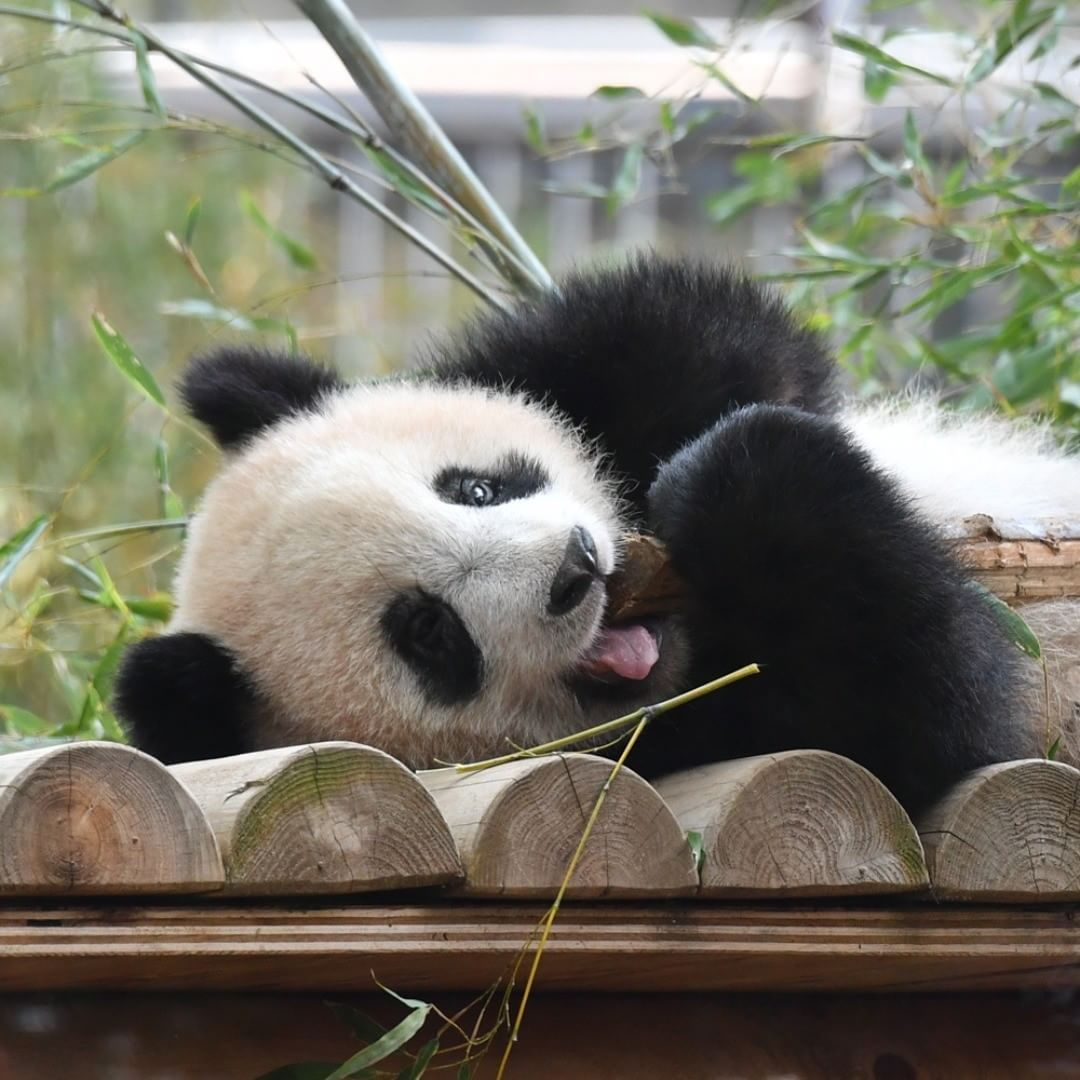вернётся, картинки с пандой милые смешные три различных