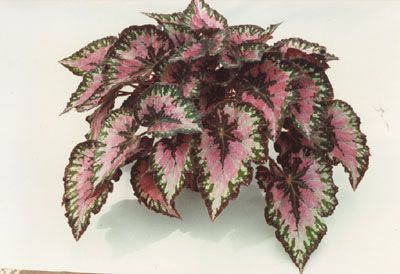 Begonia Rex Plants Have Leaves As Pretty As Flowers Https Www