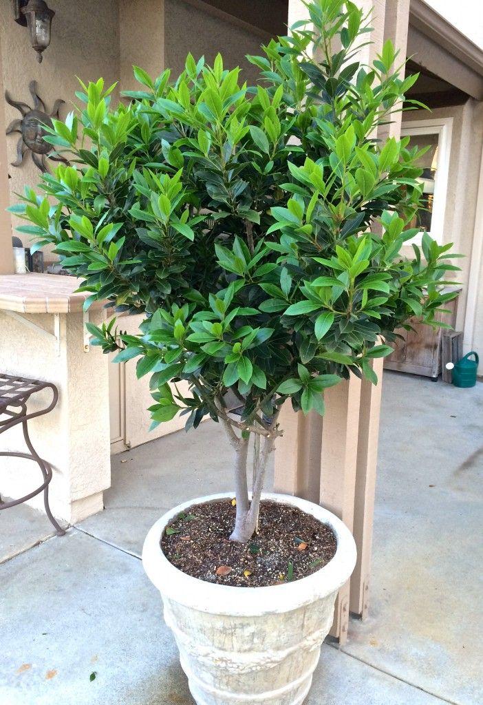 bay laurel tree in pot for around the gazebo garden bay laurel tree potted trees patio