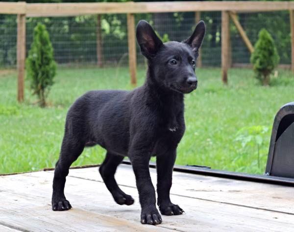 Www Wolfsbanek9 Com Belgian Malinois Black Belgian Malinois Puppy Belgian Malinois Puppies Malinois Belgian Malinois Dog