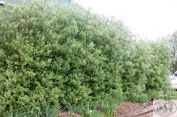 Pittosporum tenuifolium screening hedge common name for Fast growing drought tolerant trees