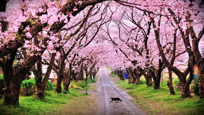 Full Hd Wallpaper Cat Sakura Road Japan Desktop Backgrounds Hd