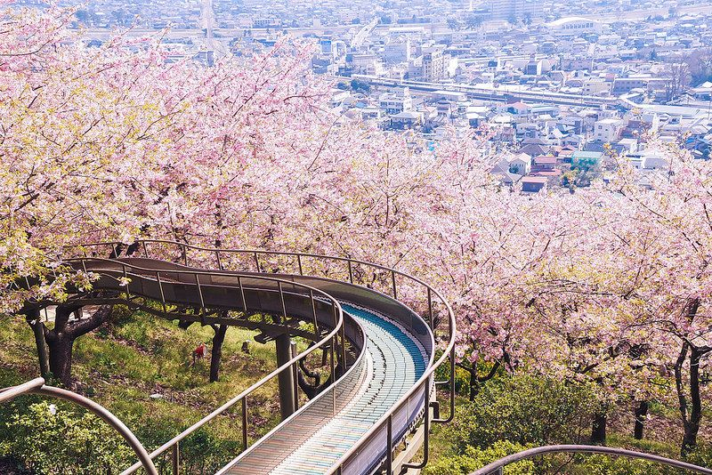 Adults Should Not Play On Slide 2014 I Cherry Blossom Japan Japanese Cherry Blossom Japanese Cherry
