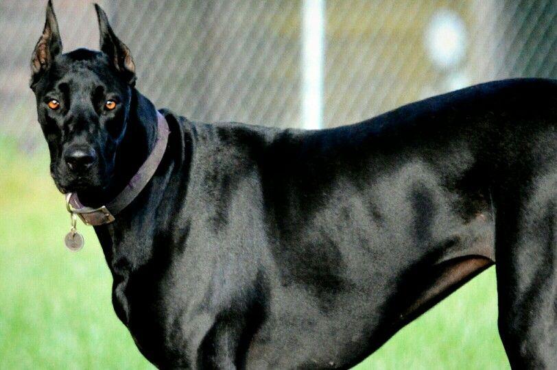 Great Doberdane Nyx Great Dane Doberman Dog Doberman Mix