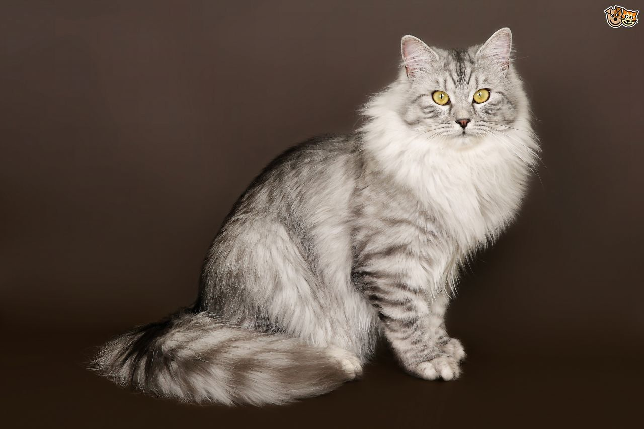 Found On Bing From Www Pets4homes Co Uk Siberian Cat Cat Breeds Siberian Cat Breeders