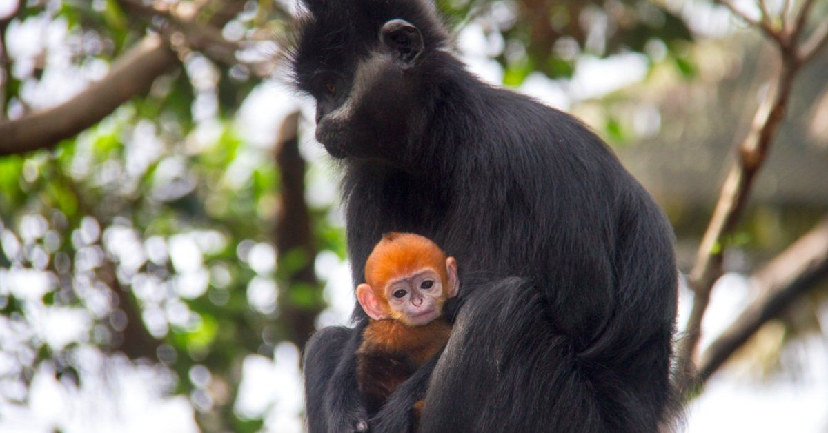 Have You Ever Seen An Orange Langur Before? They're One Of The World's Rarest Primates!