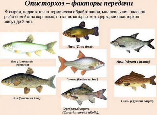 В какой рыбе есть описторхоз, полный список с фото и названиями ...