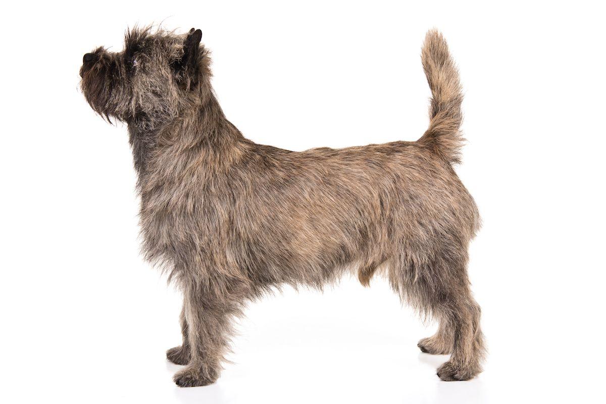 Cairn Terrier Dog Breed Information Cairn Terrier Dog Breeds
