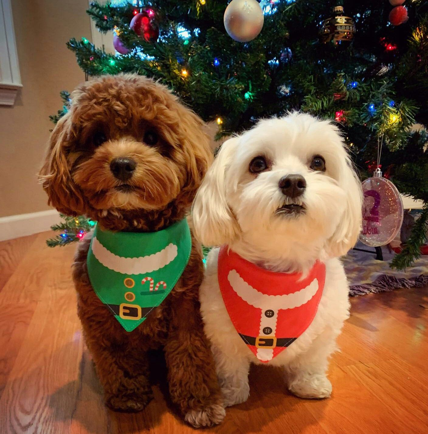 Pin by enticing on malti poo love animals pets dogs