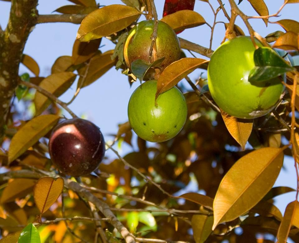 Sterappel Suriname Appels