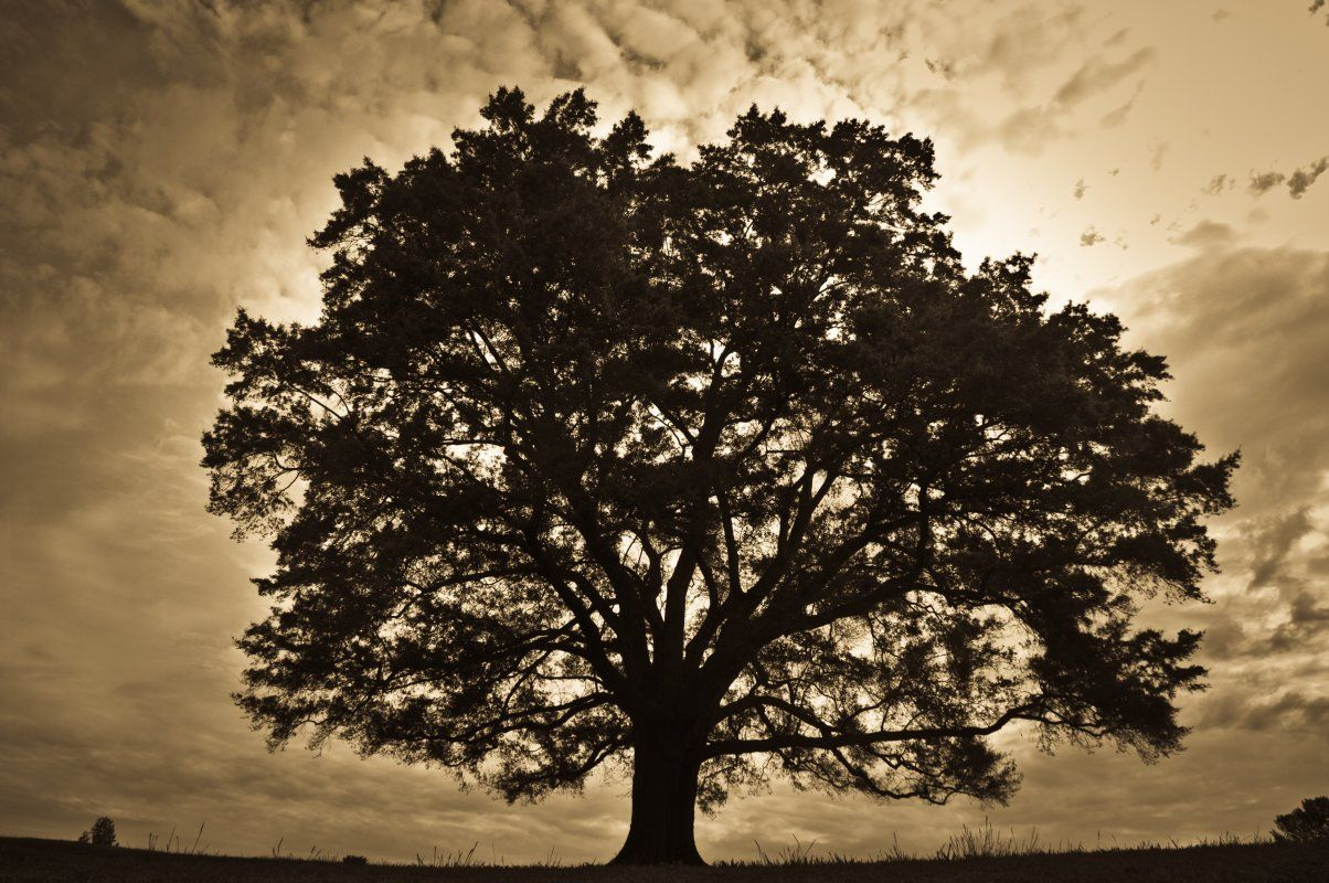 The Strongest Oak Tree Of The Forest Is Not The One That Is Protected From The Storm And Hidden From The Sun It S The One That St Oak Tree Tree One