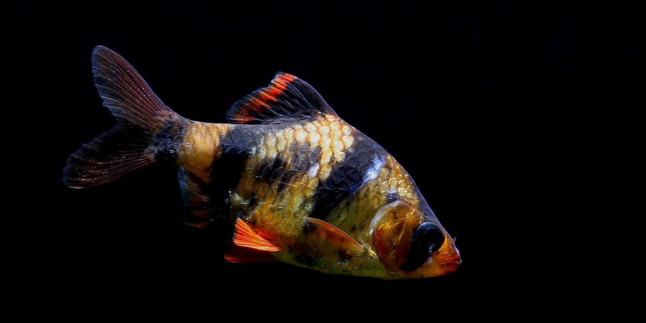 Tiger Barb Information Pet Research Aquarium Fish Animals Beautiful Fish Pet