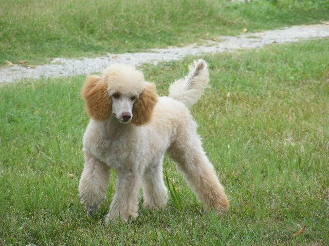 Nc Miniature Poodle Puppies Red Brown Poodles For Sale Marjo