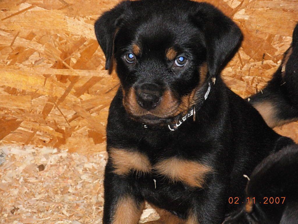 Cam S Puppy Ben Rottweiler Puppies Rottweiler Dog Rottweiler Puppies Rottweiler