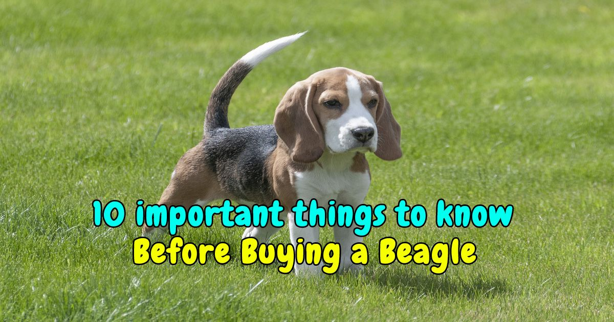 10 Interesting Facts About Beagle Dog Beagle Dog Beagle Dogs