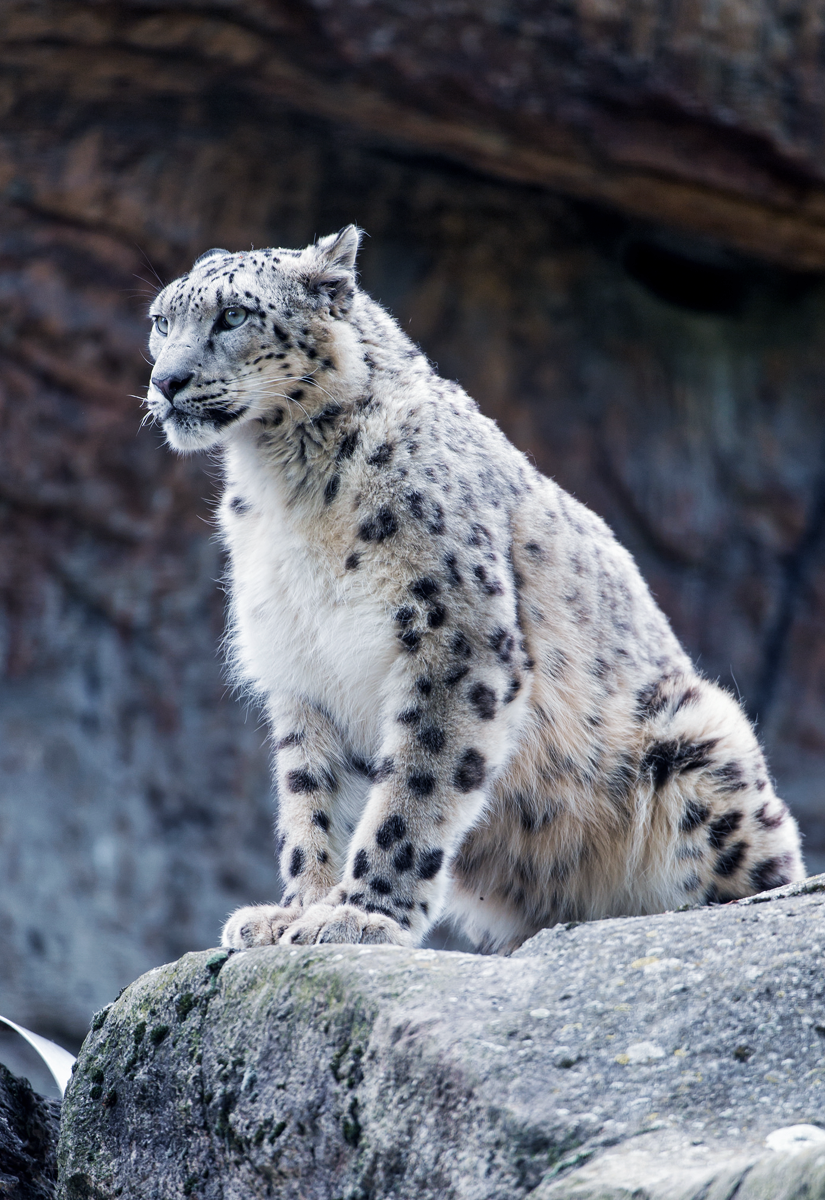 Snow Leopard Sitting And Posing By Tambako The Jaguar Leopard Pictures Snow Leopard Endangered Snow Leopard Pictures