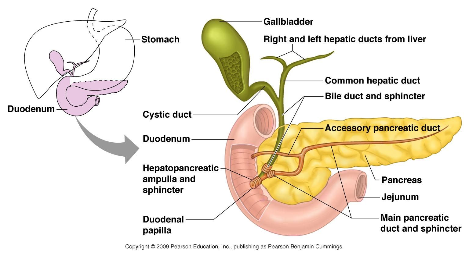 Accessory organs of the digestive tract: Pancreas, Gallbladder, Liver, Duodenum and their ducts