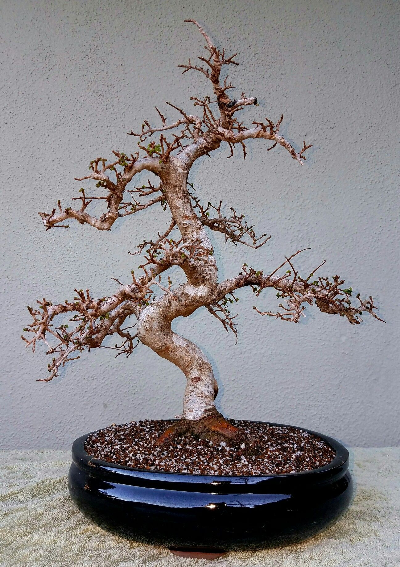 Picture 4 I Repotted My Chinese Elm Bonsai Chose An Oval Black Wiring Glazed Pot Used A 40 30 Soil Mix Consisting Of Akadama Pumice And Lava